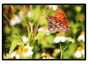 butterfly62