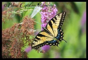butterflybush3cc