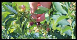 blueberry2013c2