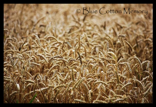 wheatfieldccc22_edited-1