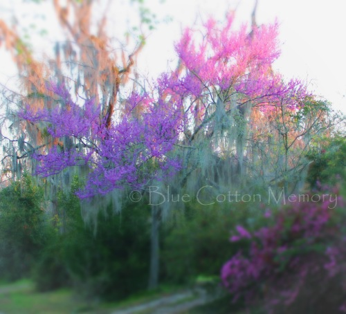 springredbud_edited-1