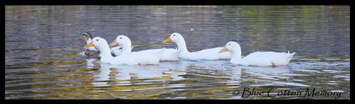 duckspond
