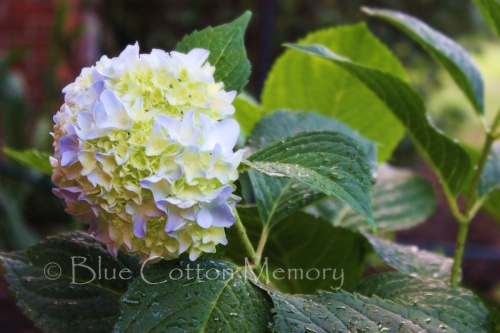summerhydrangea14