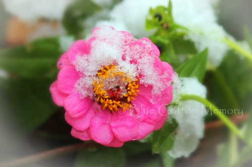 snowpink1_edited-1