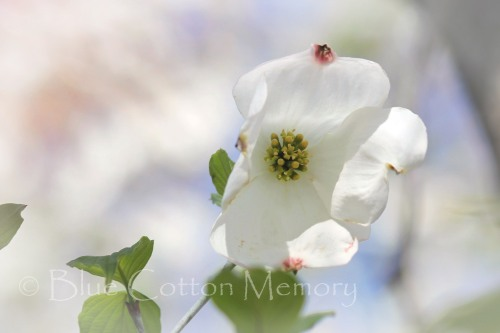 dogwood_edited-1