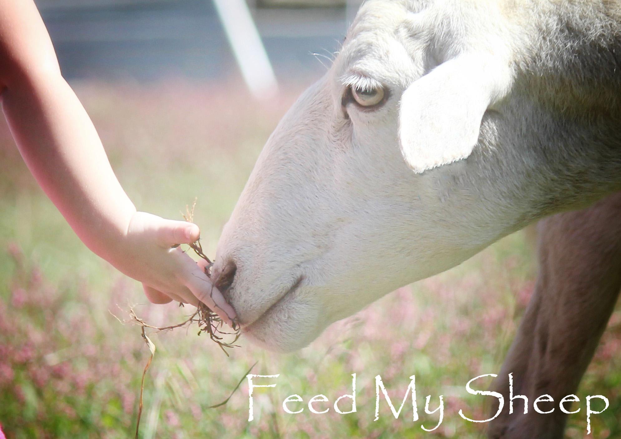 feedsheepccc