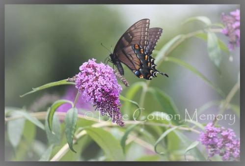 butterflybushc2ccdd_edited-1