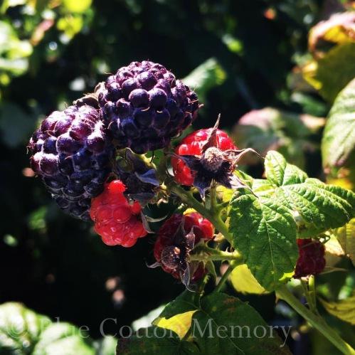 redblackberryc