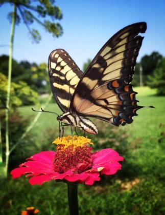 butterfly17b