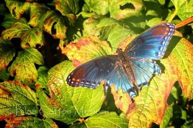 bluebutterflycc