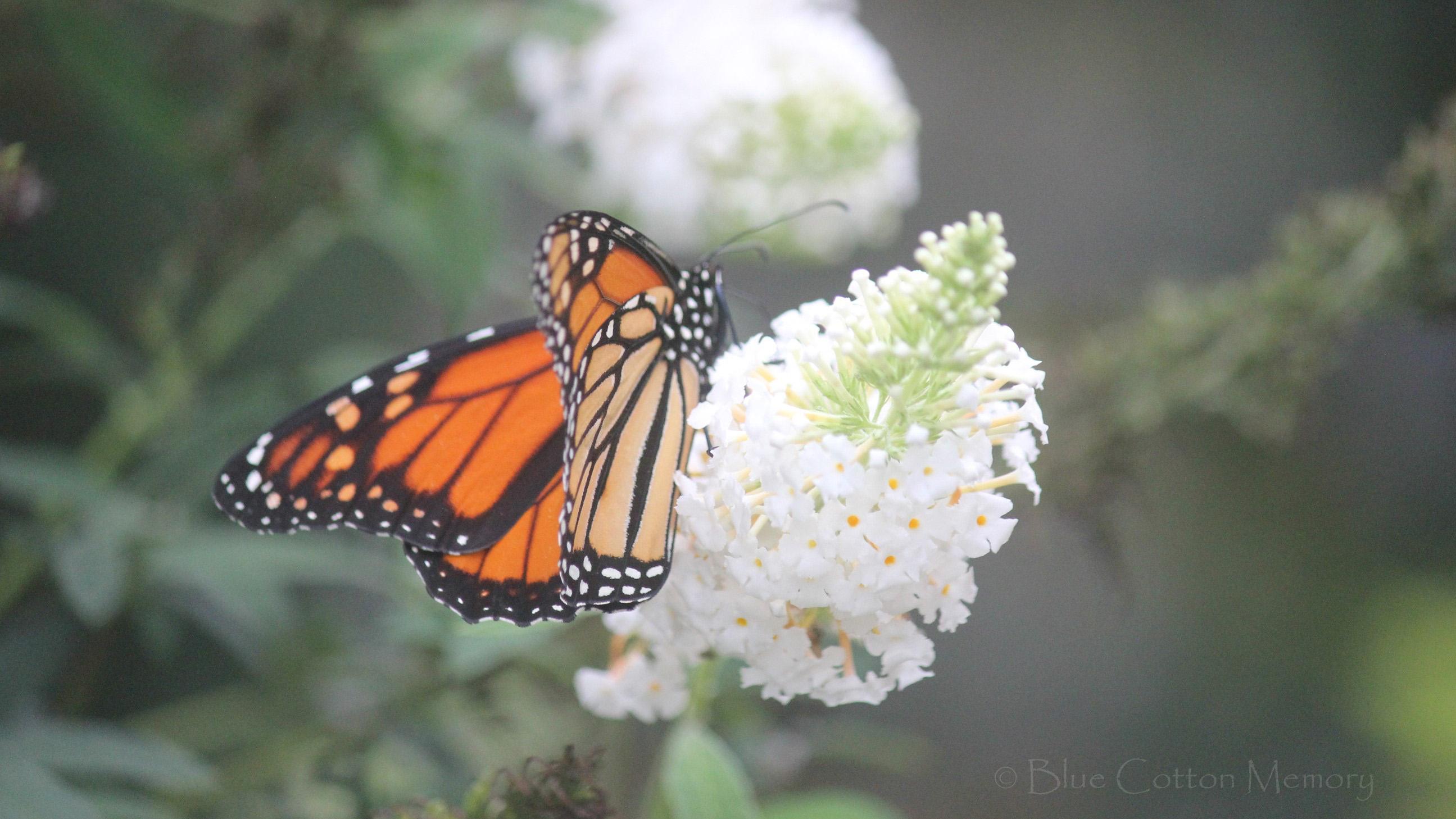 Monarchc