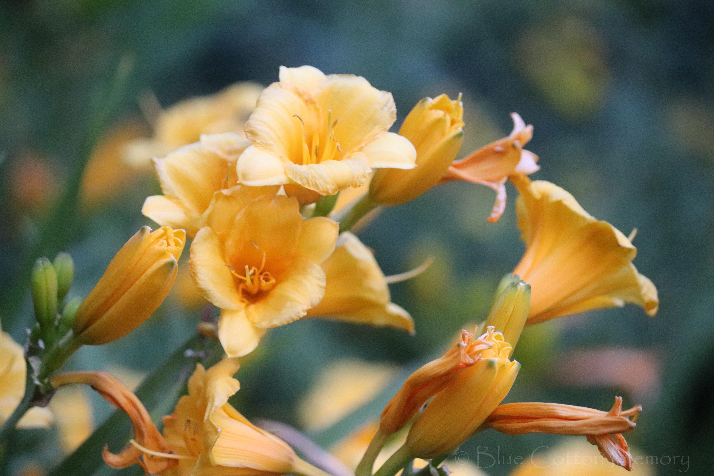 yellowlilies2c